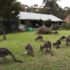 Kangaroos next to Tim's Place